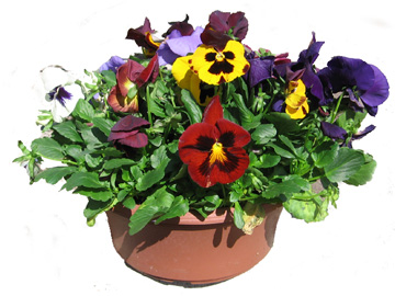 12in Pansy Bowl