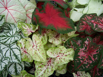 Caladium Assortment