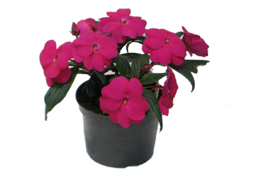 5in New Guinea Impatiens