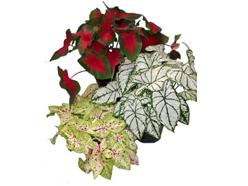 6in Caladium Assortment